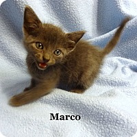 Adopt A Pet :: Marco - Bentonville, AR