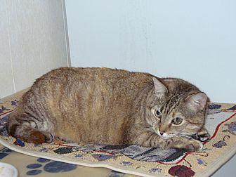 Domestic Shorthair Cat for adoption in Naples, Florida - Natasha