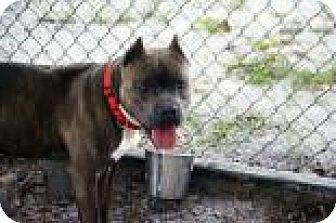 Bulldog Mix Dog for adoption in Bradenton, Florida - Snorkles