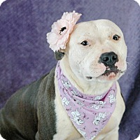 Staffordshire Bull Terrier Mix Dog for adoption in Plainfield, Connecticut - Bella