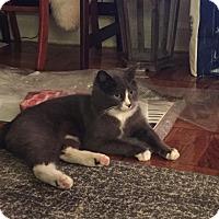 Adopt A Pet :: Percey - Fairfax, VA