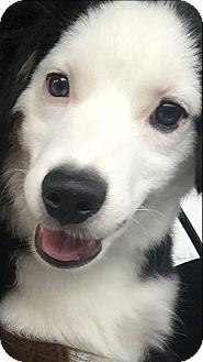 Australian Shepherd Mix Puppy for adoption in Aubrey, Texas - Scout