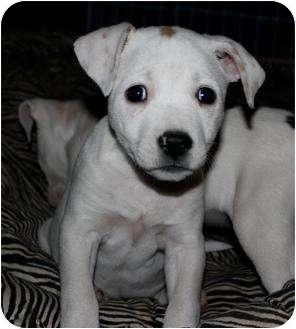 American Pit Bull Terrier Mix Puppy for adoption in Mesa, Arizona - Petunia