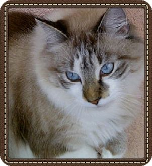 Ragdoll Cat for adoption in Bradenton, Florida - Apollo