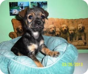 Chihuahua/Terrier (Unknown Type, Small) Mix Puppy for adoption in Shawnee Mission, Kansas - Brownie Bean