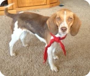 Beagle Dog for adoption in Marlton, New Jersey - Emma 14 lbs