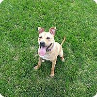 Adopt A Pet :: Sassy - Plainfield, IL