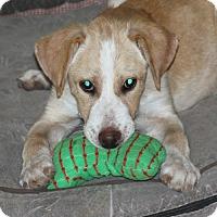 Adopt A Pet :: Kyra - kennebunkport, ME