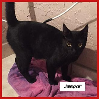 Domestic Shorthair Cat for adoption in Miami, Florida - Jasper
