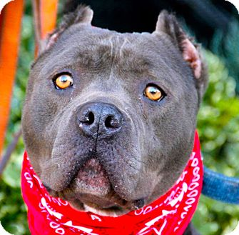 American Pit Bull Terrier/American Staffordshire Terrier Mix Dog for adoption in Los Angeles, California - Super handsome Lennox