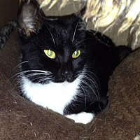 Domestic Mediumhair Cat for adoption in Lake Jackson, Texas - Strappy