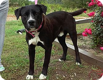 Labrador Retriever Mix Dog for adoption in Union Springs, Alabama - Norris