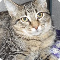 Domestic Shorthair Kitten for adoption in Waupaca, Wisconsin - Peanut