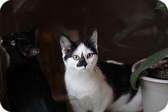 Domestic Shorthair Kitten for adoption in Richmond, Virginia - Emma & Maddie