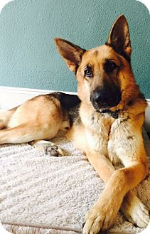 German Shepherd Dog Dog for adoption in Houston, Texas - Gallagher