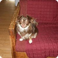 Adopt A Pet :: ChiChi - Fultonham, NY