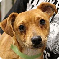 Adopt A Pet :: Scribbles~meet mte~ - Glastonbury, CT