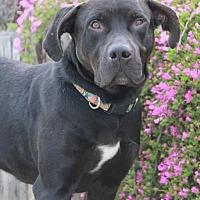 Adopt A Pet :: Duke (CP) - Huntington Beach, CA