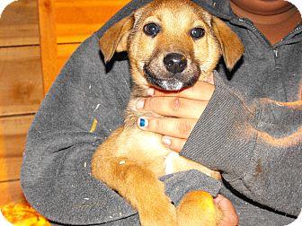 Shepherd (Unknown Type)/Sheltie, Shetland Sheepdog Mix Puppy for adoption in Alamosa, Colorado - Sheldon