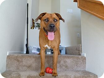 Rhodesian Ridgeback/Labrador Retriever Mix Dog for adoption in Mission Viejo, California - Lyla