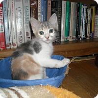 Adopt A Pet :: Pippa's Kittens (Girls) - Arlington, VA