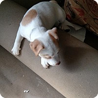 Adopt A Pet :: Lillly - Simi Valley, CA