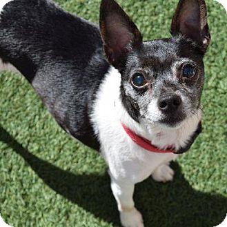 Rat Terrier Mix Dog for adoption in Denver, Colorado - Darnella