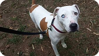 Pit Bull Terrier Mix Dog for adoption in Natchitoches, Louisiana - Hank