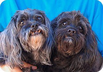 Pekingese/Poodle (Miniature) Mix Dog for adoption in Las Vegas, Nevada - Mikey