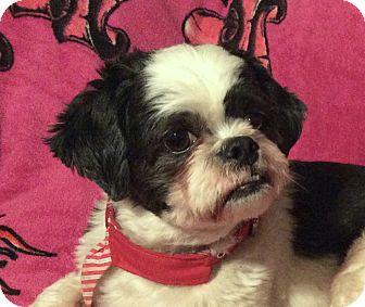 Shih Tzu/Lhasa Apso Mix Dog for adoption in San Francisco, California - Baylee