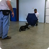 Dutch Shepherd Puppy for adoption in Wattertown, Massachusetts - Dylan - Blue Collar