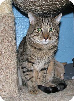 Domestic Shorthair Cat for adoption in New Kensington, Pennsylvania - Ben