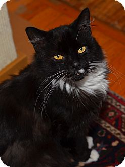 Maine Coon Cat for adoption in Brooklyn, New York - Dino