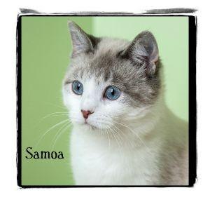 Ragdoll Cat for adoption in Warren, Pennsylvania - Samoa