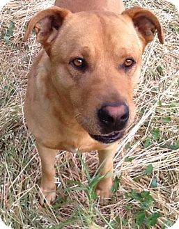 Labrador Retriever/Chow Chow Mix Dog for adoption in Valley Springs, California - Buddy--living in a field!