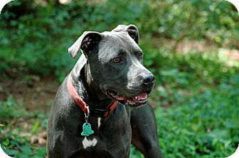 Pit Bull Terrier Dog for adoption in Lawrenceville, Georgia - Theo