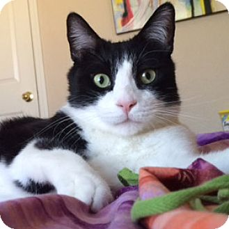 Domestic Shorthair Cat for adoption in Mesa, Arizona - Dino