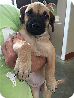 Shepherd (Unknown Type)/Mastiff Mix Puppy for adoption in Wilmington, Delaware - Casey