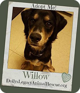 Setter (Unknown Type) Mix Dog for adoption in Lincoln, Nebraska - WILLOW