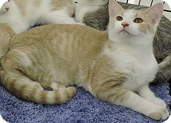 Domestic Shorthair Cat for adoption in MARENGO, Illinois - Dandelion