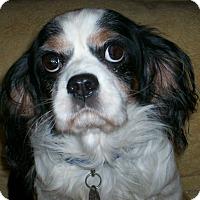 Cavalier King Charles Spaniel Dog for adoption in Sullivan, Missouri - Benjamin