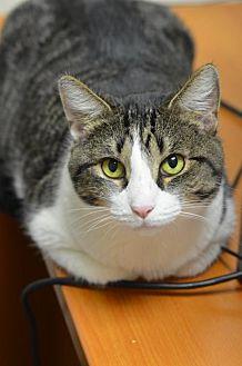 Domestic Shorthair Cat for adoption in Atlanta, Georgia - Honeybee 161894