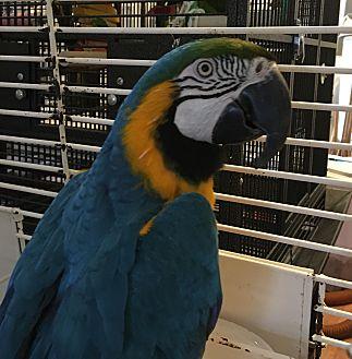 Macaw for adoption in Punta Gorda, Florida - Shilo