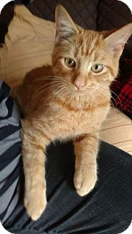 Domestic Shorthair Cat for adoption in Taylor, Michigan - Milo