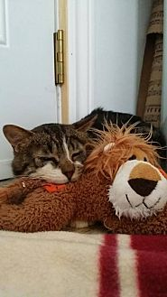 Domestic Shorthair Cat for adoption in Montreal, Quebec - Leo