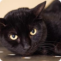 Domestic Shorthair Cat for adoption in Palm Springs, California - Rocker