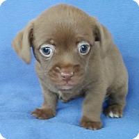 Adopt A Pet :: Tootsi - Lawrenceville, GA