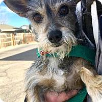 Adopt A Pet :: Willa-ADOPTION PENDING - Boulder, CO