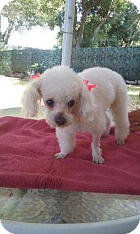 Tea Cup Poodle Dog for adoption in Gainesville, Florida - Dollypop*Adopted