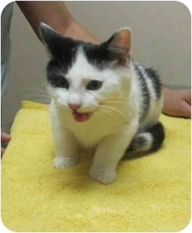 Domestic Shorthair Kitten for adoption in Bayonne, New Jersey - Alvin